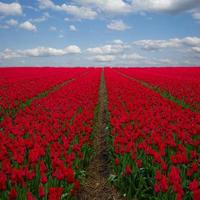 Dutch red  tulip fields under blue sky photo