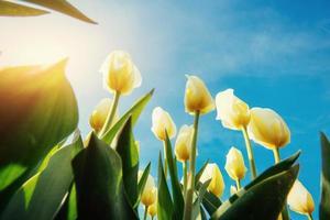 tulipanes amarillos sobre un fondo de cielo azul foto
