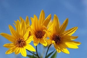 Flores amarillas de topinambur (familia de las margaritas) contra el cielo azul foto