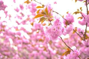 Blooming double cherry blossom tree and blue sky