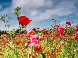 Poppies against blue sky photo