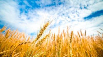 campo de trigo y cielo azul