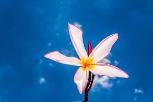 pink frangipani and blue sky