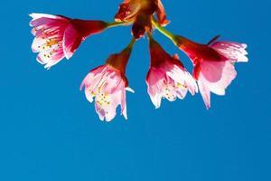 Flores de cerezo rosa contra el cielo azul foto