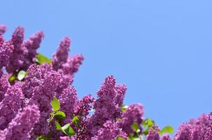 Purple lilacs against bright blue sky