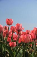 Pink tulips and a blue sky