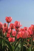 tulipanes rosados y un cielo azul