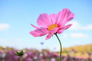 Pink cosmos flower close up with sky photo