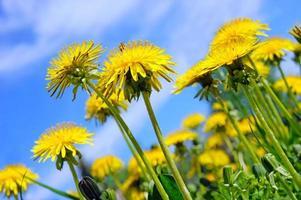Pretty summer field. Dandelion against sunny blue sky