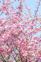 Blooming double cherry blossom branches and blue sky
