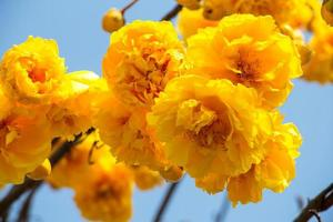 Yellow Silk Cotton tree flower with blue sky photo