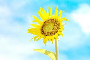 sunflower with sky background photo