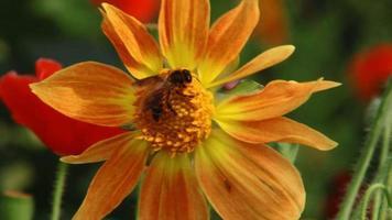 Abeille à miel sur macro fleur