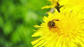Abeille à miel sur macro fleur jaune
