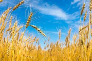 campo de trigo y cielo azul foto