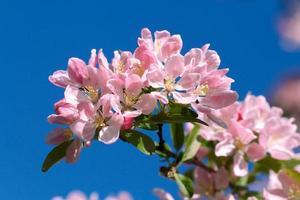 Pink blossoms against a blue sky