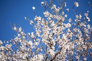Cherry blossoms in tree against blue sky