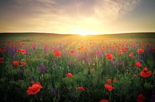 Field red poppies against the sunset sky