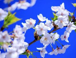 White blooming cherry flowers on blue sky background photo