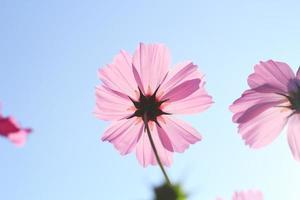 cosmos flores contra el cielo con filtro de color.