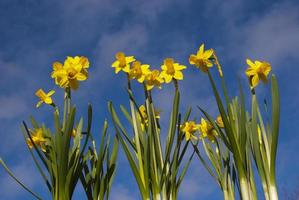 Daffodils with the blue, cloudy sky in the background