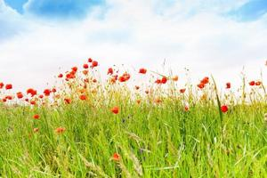 Sky and poppy flowers background photo
