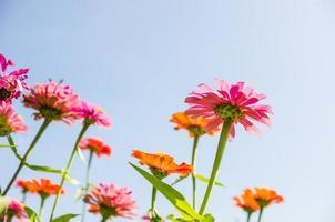 flor de zinnia y cielo azul