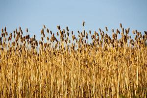 Grain with Blue Sky in the Background