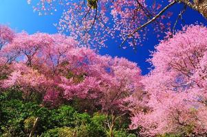 flores de cerejeira da primavera com fundo de céu azul
