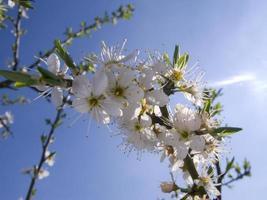 Close up tree blossoms against blue sky