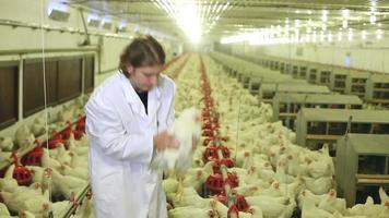 fazenda de galinhas video
