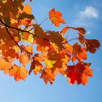 Red autumn maple leaves over blue sky