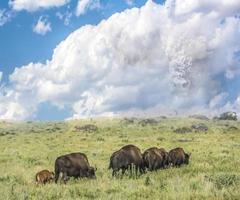 Buffalo Journey