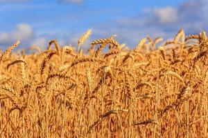 wheat fields photo