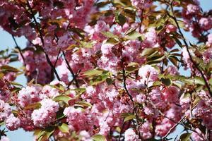 Almonds tree (Prunus dulcis) pink flowers under blue sky