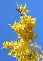 Yellow broom flower branch in springtime with blue sky photo