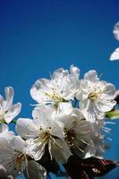 Sweet cherry white flowers, cherry blossoms under blue sky