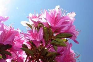 "Japanese Azalea purple ""Koenigstein"" under blue sky, close-up photo"