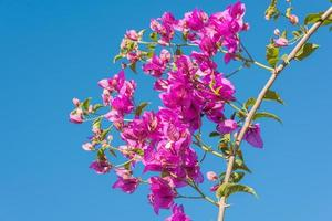Branch of beautiful bougainvillea flowers on blue sky background photo