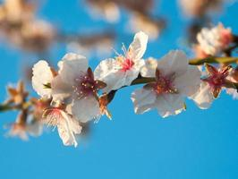 Almond blossom closeup on small branch and blue sky photo