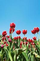 decorative red tulips on flower bed on blue sky photo