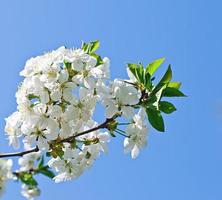 Branch of the cherry blossoms against the blue sky