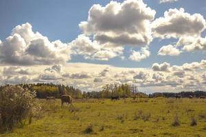 Grazing cows in the pasture photo