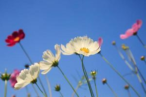 Beautiful cosmos flowers and Blue sky