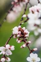 flowers blooming apricot tree on a background of sky