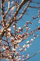 apricot blossoms on a branch against the blue sky