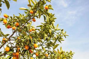 Rama de mini naranjas (kumquats) contra un cielo azul foto