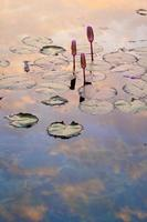 Reflection in lotus pond.