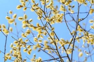 Goat willow in bloom on blue sky background