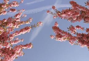 cerezo sobre fondo de cielo con rastros de aviones foto